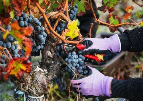 Pomerol AOC là gì? Tìm hiểu về Pomerol Bordeaux, Đặc điểm của vườn nho ngon nhất Chateaux