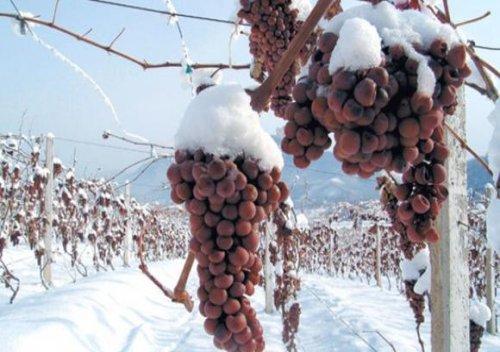Đặc sản rượu vang tuyết của Đức có thể trở thành