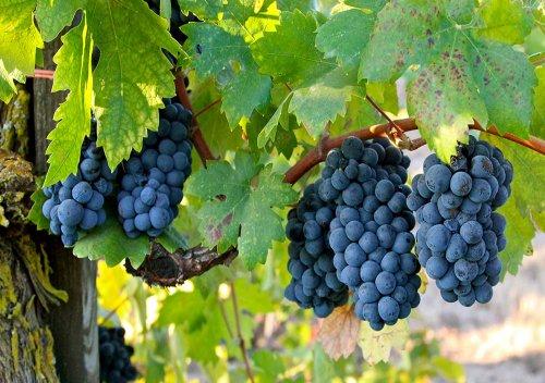 Tìm hiểu giống nho Primitivo và rượu vang Primitivo