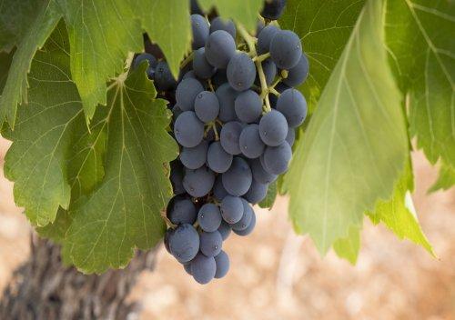 Carménère là gì? 10 điều thú vị cần biết về rượu vang Carménère