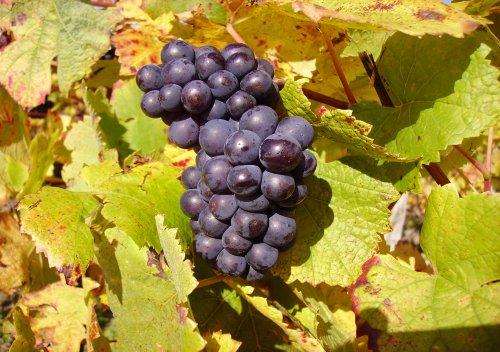 Pinot Noir loại nho được ví như một cô thiếu nữ yểu điệu thanh tân, hay hờn giận thất thường