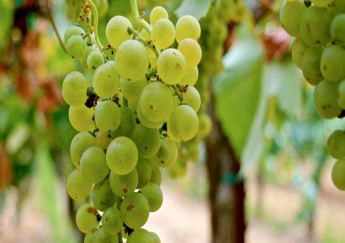 Torrontés là gì? Tìm kiếm rượu Torrontés tuyệt vời